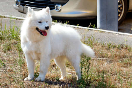 A handsome and fluffy American Eskimo with a protruding red tongue and snow-white fur stands in a park on a lawn on a bright sunny day, image with copy space.