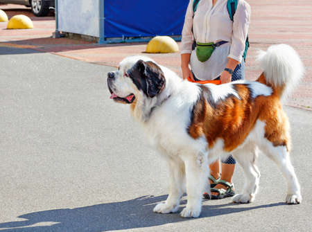 The St. Bernard is the ideal companion with a calm, empathetic and friendly character.