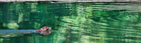A hunting dog, a brown spaniel, swims in a forest lake with a green reflection of foliage towards the center of concentric circles on the water surface.