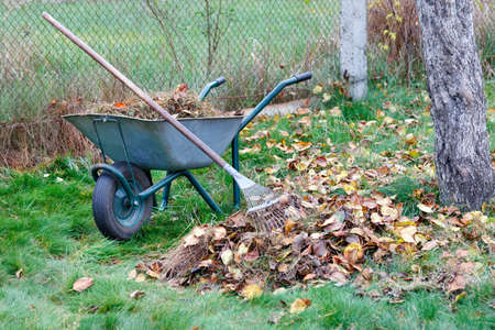 Green lawn care, fallen brown leaves in the autumn garden collected with a metal rake, garden wheelbarrow close-up, image with copy space.
