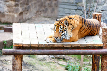 A large striped tiger lies calmly in the sun on a wooden platform and looks sadly in front of him, copy space.