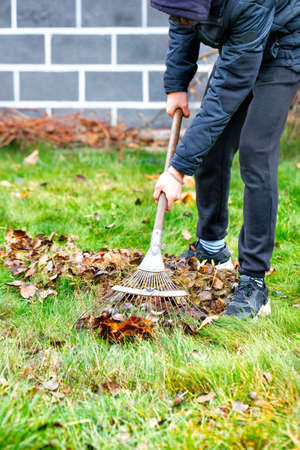 The gardener's hands take care of the green lawn, raking fallen leaves from the green grass with a metal rake in the autumn garden against the background of the house in a blurred form. Copy space, vertical image. 免版税图像