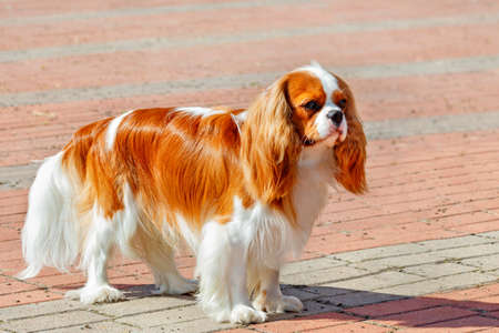 A Cavalier King Charles Spaniel looks straight ahead and stands against a backdrop of red cobblestones on a bright sunny day. Copy space.