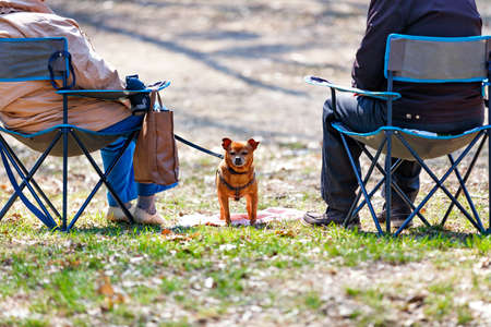 A small ginger dog is basking in the sun on a spring meadow in a park between two elderly people sitting on folding chairs. Copy space, selective focus.