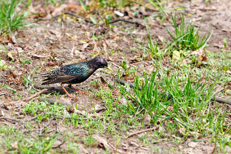 A young starling with a beautiful spotted plumage and a yellow beak grazes among the sprouting green grass against the background of a spring forest glade. Selective focus, copy space, close-up.