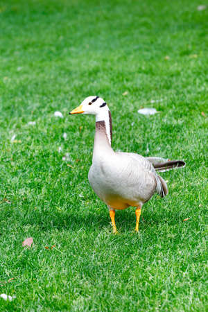 The goose Anser indicus walks in a green grassy meadow in a summer park under the warm sun. Vertical image, selective focus, copy space. 免版税图像
