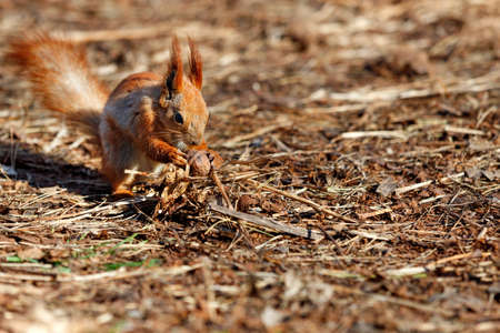 An orange fluffy squirrel with protruding ears sits on the ground against the background of a brown forest floor and holds a walnut in its paws. Copy space, selective focus, close-up. 免版税图像