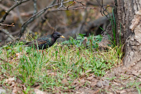 A starling with beautiful spotted plumage and yellow beak walks among the sprouting green grass. Selective focus, copy space, close-up. 免版税图像