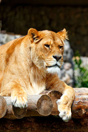 A portrait of a large adult lioness lying on a platform of wooden logs and gazing forward. Vertical image, copy space. 免版税图像
