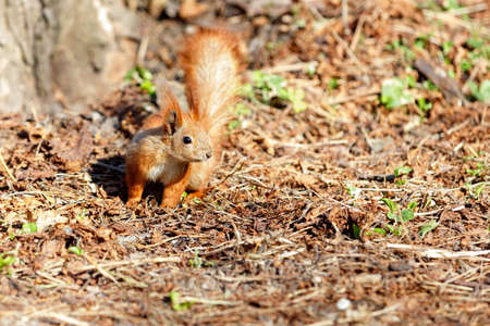 A cautious orange squirrel against the background of a brown forest litter of withered fallen leaves illuminated by sunlight. Copy space.