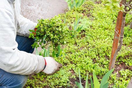 A farmer wearing linen gloves weeds a bed and removes weeds from a flower bed in a spring garden. Copy space, close-up.
