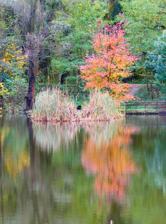 Yellowed and bright orange trees are beautifully reflected in the autumn landscape on the water surface of a forest lake against the backdrop of a still green park. Vertical image, copy space.