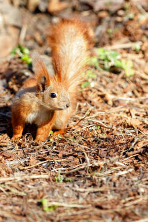 A cautious orange squirrel against the backdrop of a brown forest litter of dead fallen leaves, illuminated by sunlight. IImage vertical image, copy space.