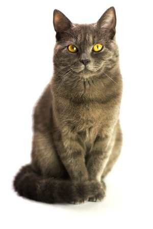 jesting: gray, beautiful cat sitting in an isolated white space