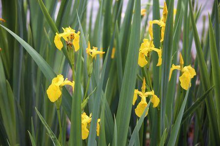 palanca: Flor del iris pseudacorus o la bandera amarilla, iris amarillo, bandera del agua o de la palanca cerca del río Foto de archivo