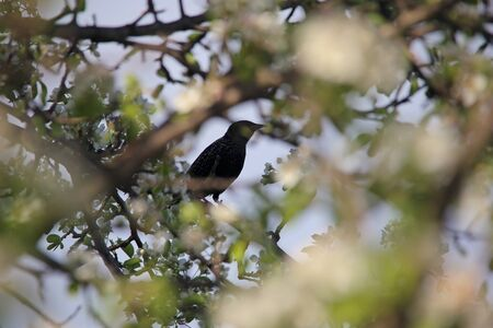 vulgaris: A bird starling or Sturnus vulgaris sitting on apple tree branch in blossom