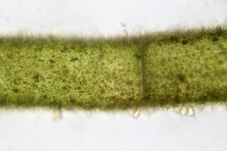 filamentous: Freshwater filamentous algae super macro. Aquaculture. Nature