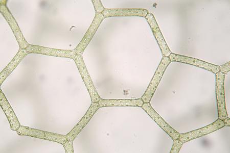 freshwater: Freshwater Hydrodictyon reticulatum. Hexagonal structure. Aquaculture. Biology Stock Photo