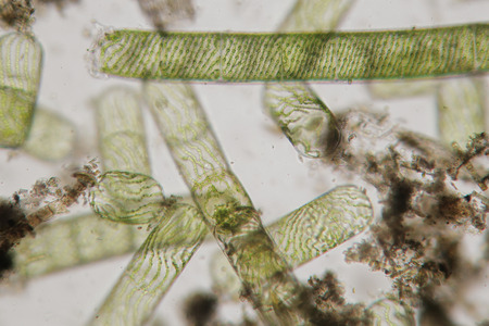 helical: Spirogyra also water silk, mermaids tresses, blanket weed. Genus of filamentous charophyte green algae of the order Zygnematales, named for the helical or spiral arrangement of the chloroplasts that is diagnostic of the genus
