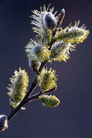 Inflorescence willow or willow catkin. Spring tree in bloom