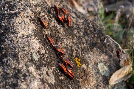 Firebugs, Pyrrhocoris apterus, insect family Pyrrhocoridae. Bugs bask in the spring sun Stock Photo