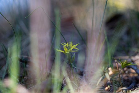 edible plant: Blurry floral background, spring flower Gagea lutea or Yellow Star-of-Bethlehem. Lily family edible medical herb. Eurasian flowering plant