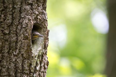 Kleiber-Nestling wartet auf die Fütterung in Eichenhöhle. Waldvogel Sitta europaea oder eurasischer Kleiber oder hölzerner Kleiber auf dem Nest