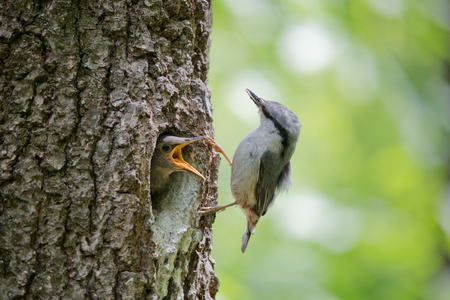 ocas: Always hungry nestling ask for food from his parent. Adult bird Wood nuthatch or Sitta europaea near the nest in hollow of the oak