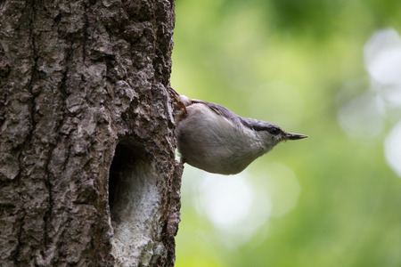 Bird on green background. Nuthatch sits on tree bark near the nest and look around. Sitta europaea at spring Stock Photo