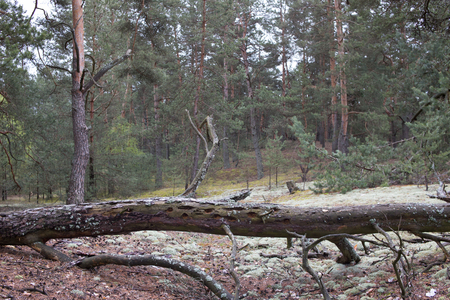 Picturesque old fallen tree trunk in pine forest of Volyn. Remains of trenches of World War One nowadays. Battleground of Brusilov Offensive or June Advance on Eastern Front Stock fotó