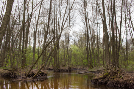 Marshy river with branched channel in spring forest. Nature of Volyn in May. Spring in Europe