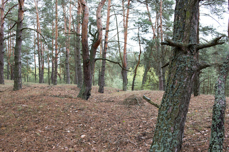 Remains of trenches of World War One in pine spring forest of Volyn. Traces of Trench warfare nowadays. Battleground of Brusilov Offensive or June Advance Stock fotó - 94275254