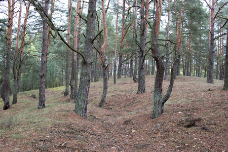 Remains of trenches lines of World War One in pine spring forest of Volyn. Traces of Trench warfare WW1 nowadays. Battleground of Brusilov Offensive or June Advance Stock fotó