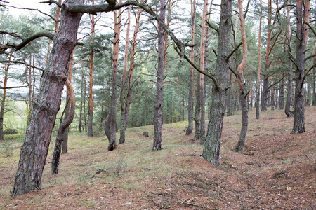 Pine forest of Volyn at spring. Remains of trenches of Great War nowadays. Battleground of Brusilov Offensive or June Advance on Eastern Front