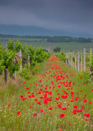 orcia: Poppies field