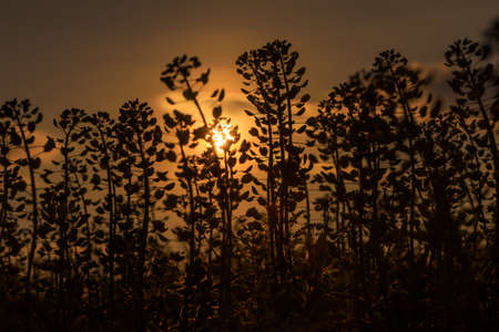 Silhouettes of flowers and grass at sunset. Soft focus.
