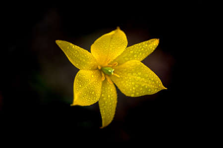 Beautiful yellow flower close-up on dark background. Soft focus.
