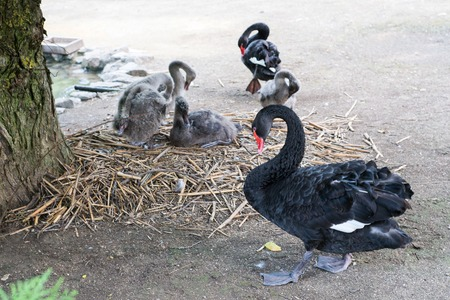 Proud Black Swan, the inhabitants of the zoo, the family of black swans, black swans endangered species