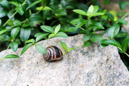 aphrodisiac: Snail on a rock in the forest bushes, the exquisite delicacy and aphrodisiac viagra for men. Stock Photo