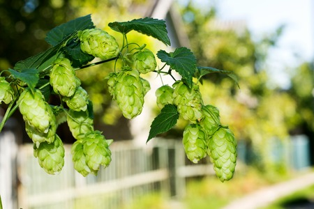 especially: Sprig of hops against the sky, making beer and kvass ingredient, especially the cultivation of hops