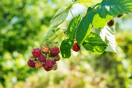 horticulture: Horticulture and cultivation of raspberries, a remedy for colds and flu, increases immunity and resistance to disease, a lot of red raspberries on a bush Stock Photo