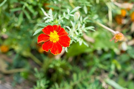 floristry: Fresh flowers over green grass background, Chernobrivtsev bloom in the garden, flower bed decoration, floristry
