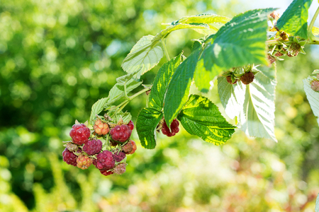 colds: Horticulture and cultivation of raspberries, a remedy for colds and flu, increases immunity and resistance to disease, a lot of red raspberries on a bush Stock Photo