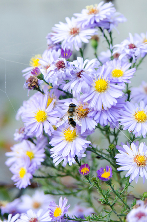 floristry: Blooming purple aster in the garden on a bed, care and asters, botany and floristry