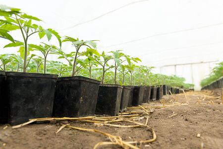 cultivation: Tomato plants and cucumber plants  in vegetable greenhouses. Tomato seedling before planting into the soil, greenhouse plants, drip irrigation, greenhouse cultivation of tomatoes in agriculture