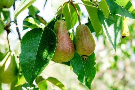 Pear tree with green pears. Pear tree in a garden. Summer fruits garden. Green pears on the tree. Crop of pears. Green pears in the garden on a sunny day. Branch of pear tree with pears and leaves. Stock Photo