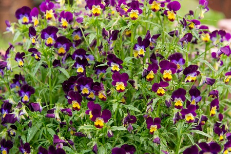 Garden pancy (Viola tricolor var. hortensis) here seen in a flower bed. These are cool blue, white and yellow.