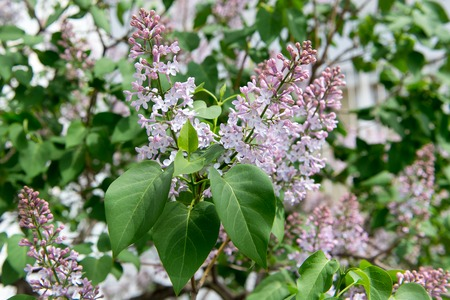 Fragrant flowering bush of white lilac in the garden stock photo 67210450 fragrant flowering bush of white lilac in the garden mightylinksfo