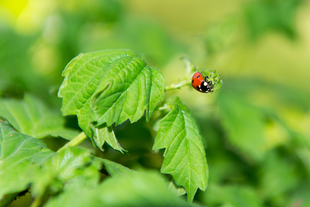 Macro of ladybug on a blade of grass in the morning sun. Ladybug on a green leaf.