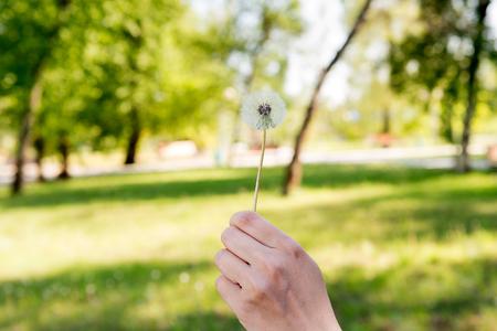 Flying dandelion down. Old dandelion in his hand.